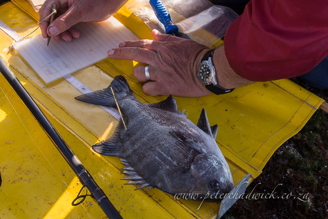 tagging a galjoen for research by wildlife and conservation photographer Peter Chadwick