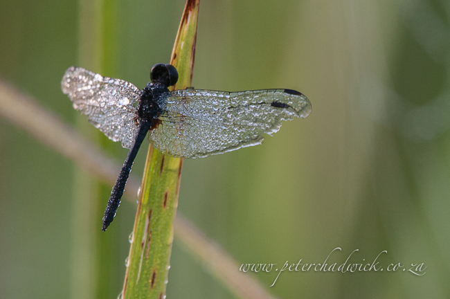 Dragonfly covered in morning dew by Wildlife and conservation photographer Peter Chadwick