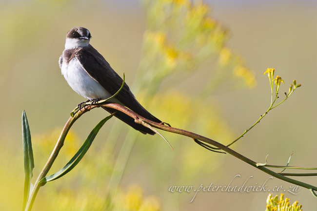 Banded Martin by Wildlife and conservation photographer Peter Chadwick