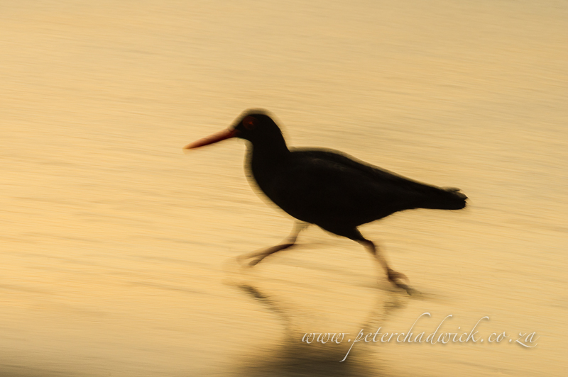 African Black Oystercatcher running by wildlife and conservation photographer Peter Chadwick