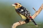 Crested Barbet_©PeterChadwick_AfricanConservationPhotographer.jpg