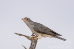 African Cuckoo by wildlife and conservation photographer Peter Chadwick.jpg