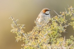 Rufous Eared Warbler by wildlife and conservation photographer Peter Chadwick.jpg