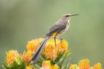 Cape Sugarbird wildlife and conservation photographer Peter Chadwick