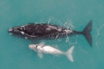 Southern right whale with albino calf by wildlife and conservation photographer Peter Chadwick.jpg