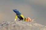 Jumping Lizards Augrabies