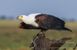 African Fish Eagle_African Conservation Photography_© Peter Chadwick