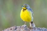 yellow throated longclaw by wildlife and conservation photographer Peter Chadwick.jpg