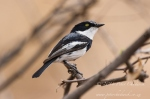 Pririt Batis by wildlife and conservation photographer Peter Chadwick.jpg