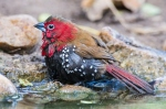 Red-throated twinspot by wildlife and conservation photographer Peter Chadwick.