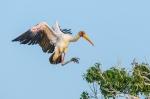 Yellow-Billed Stork_©PeterChadwick_AfricanConservationPhotography.jpg