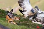 Jackal and Cape Vulture