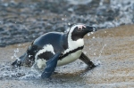 African penguin coming ashore by wildlife and conservation photographer Peter Chadwick