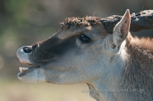Eland bull flehman lip-curl by wildlife and conservation photographer Peter Chadwick.jpg