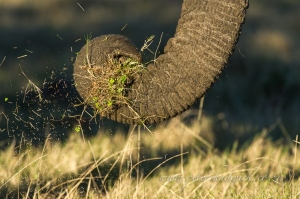 African elephant trunk by wildlife and conservation photographer Peter Chadwick.jpg