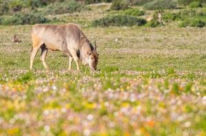 Eland Bull Grazing Amongst Spring Flowers | Postberg Section | West Coast National Park | Wildlife Photography | © Arne Purves