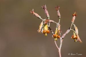 Plakkie In Flower (Cotyledon orbiculata)