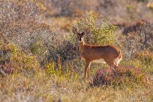 A Steenbok In Coastal Scrub   Namaqua National Park   ©Arne Purves