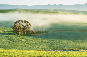 Mist amongst the wheat by wildlife and conservation photographer Peter Chadwick