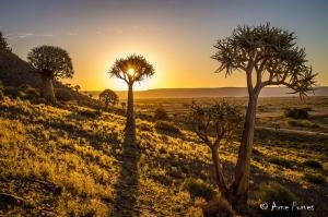Quiver Tree (Aloe dichotoma)