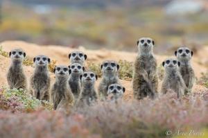 A Gang Of Meerkats