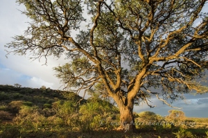 Camelthorn tree by wildlife and conservation photographer Peter Chadwick.