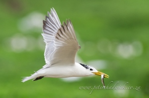 Swift Tern by wildlife and conservation photographer peter chadwick.jpg