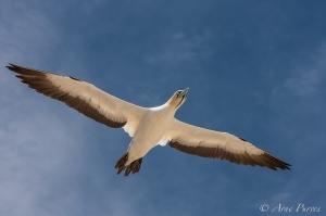 A Cape Gannet Glides Effortlessly ©arne purves #photodestination #birdphotography