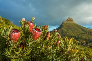 The Bearded Sugarbush and Lionshead | protea neriifolia | Table Mountain Cape Town | Outdoor Photography | © Arne Purves