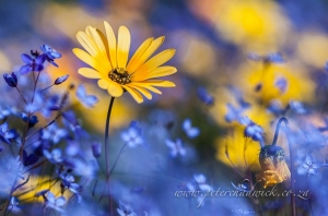 Namaqua daisy amongst blue by wildlife and conservation photographer Peter Chadwick.jpg