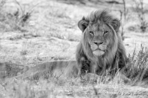 Kgalagadi Black-maned Lion