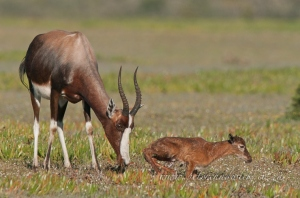 Bontebok and new born lamb by wildlife and conservation photographer Peter Chadwick.