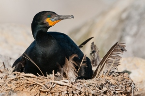 Nesting cape cormorant  by wildlife and conservation photographer Peter Chadwick.jpg