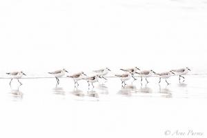 A flock of Sanderlings ©Arne Purves