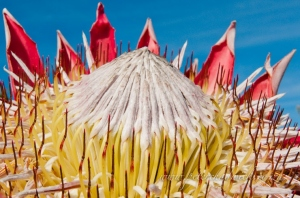 King Protea by wildlife and conservation photographer Peter Chadwick.jpg