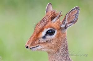 Kirks Dik Dik by wildlife and conservation photographer Peter Chadwick
