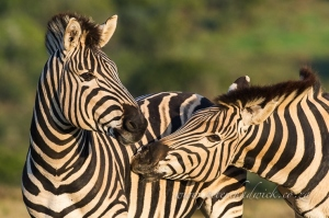 Burchells zebra stallions by wildlife and conservation photographer Peter Chadwick.jpg