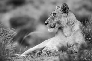 Kgalagadi Lioness Stare | Wildlife Photography | Kalahari | © Arne Purves