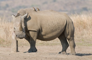 White rhino at rubbing post by wildlife and conservation photographer Peter Chadwick