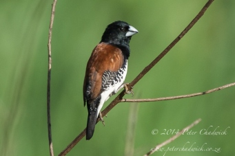 Red-backed Mannikin by wildlife and conservation photographer Peter Chadwick.