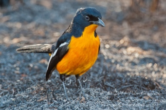 Yellow form of the Crimson breatsed Shrike by wildlife and conservation photographer Peter Chadwick.jpg