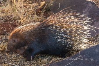 porcupine at rooipoort by wildlife and conservation photographer Peter Chadwick.jpg