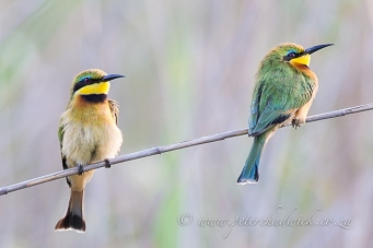 Little bee-eater by wildlife and conservation photographer Peter Chadwick.jpg