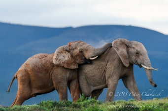 African Elephant_©PeterChadwick_AfricanConservationPhotographer