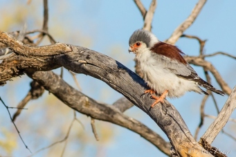 The Pygmy Falcon And The Sociable Weavers   Kgalagadi   ©Arne Purves