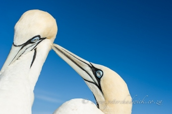 Cape Gannets preening by wildlife and conservation photographer Peter Chadwick.jpg