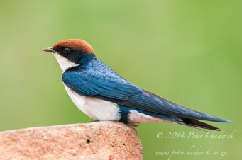 Wire tailed swallow by wildlife and conservation photographer Peter Chadwick.