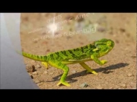 African Safari | Flap-necked Chameleon | Kruger National Park | Wildlife Photography